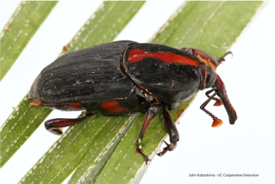 Red Palm Weevil Invades Southern California